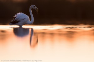 Flamant rose_FDB_7654
