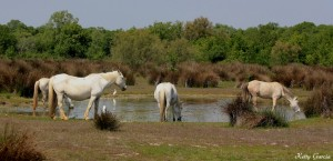 Chevaux de race Camargue - Ketty GARCIA